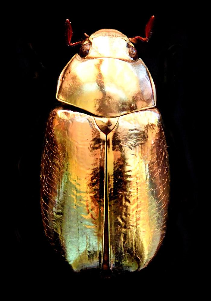 Kunst: Golden Scarab van kunstenaar Anouk van Tetering (Anoukart)