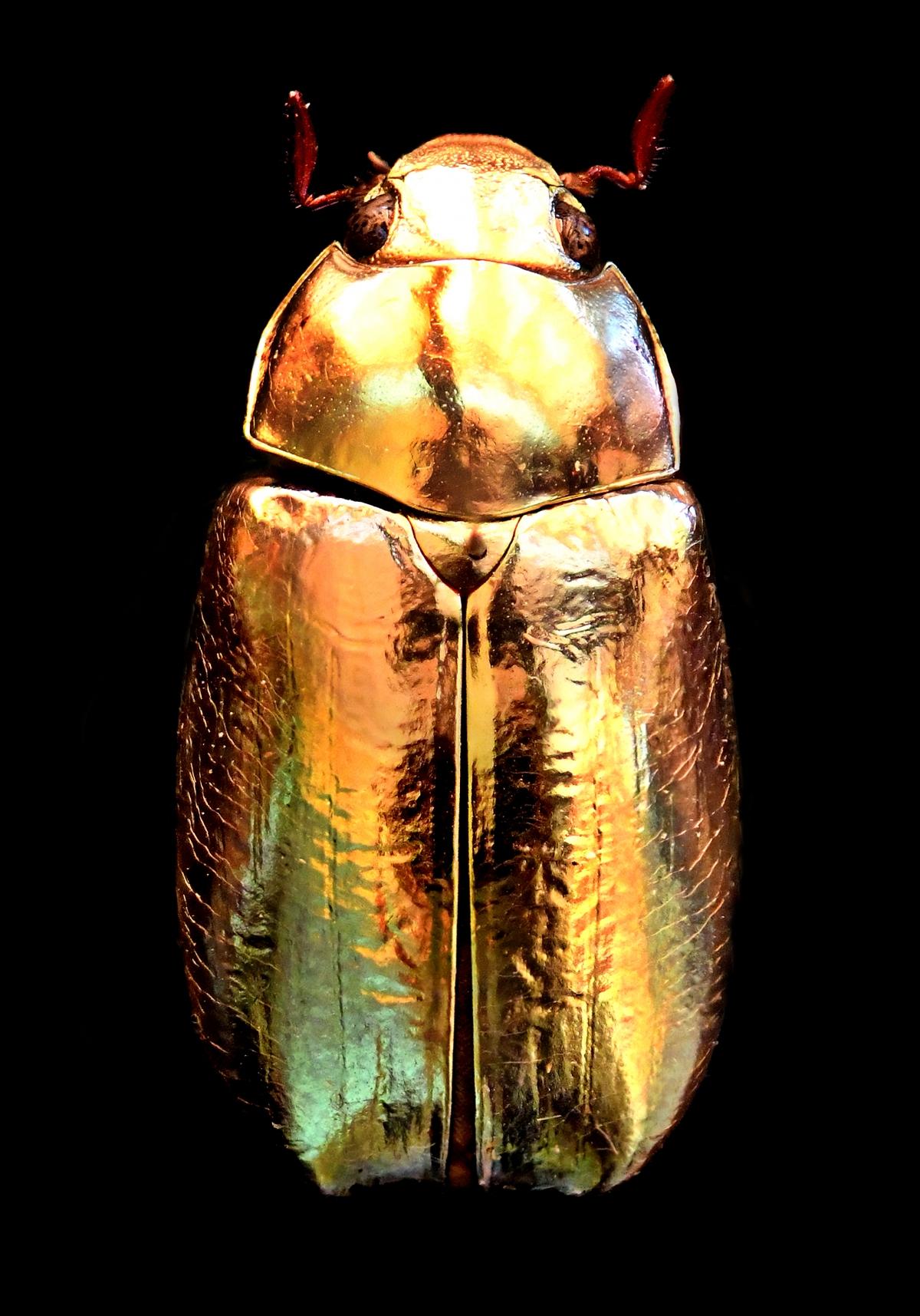 Kunst: Golden Scarab van kunstenaar Anouk van Tetering